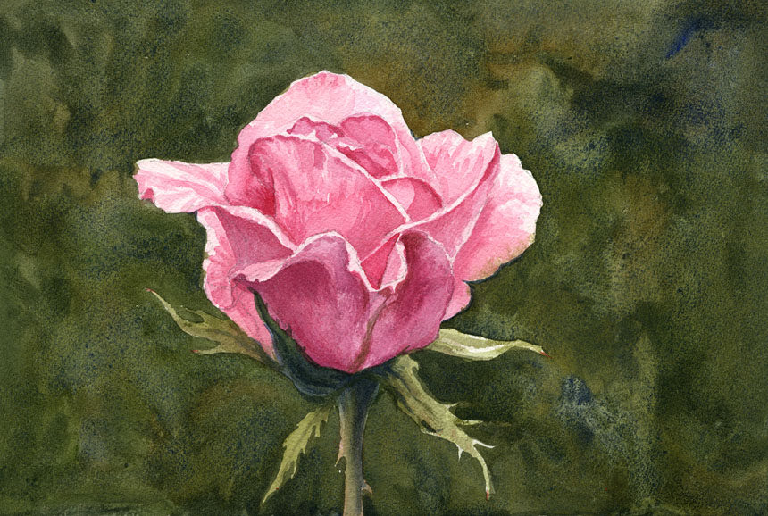 Rose, watercolour